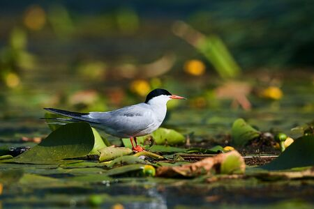 Common tern (Sterna hirundo) sitting on aquatic vegetation in the mouth of the Danube Delta, Romania. Wildlife scene from nature. Animal in natural environment. Reklamní fotografie