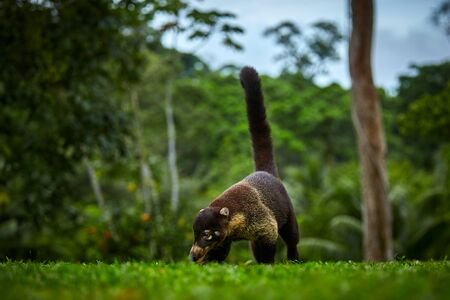 Animal from rainforest of Costa Rica. White-nosed Coati, Nasua narica. Mammal in nature habitat.