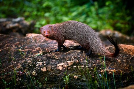 Ruddy mongoose, Herpestes smithii, is a mongoose species native to hill forests in India and Sri Lanka.. Wildlife scene from Yala National Park. Traveling in Sri Lanka.