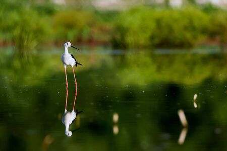 Beautiful shot of Black-winged Stilt (Himanthopus himantophus). Bird with long red legs. Wildlife scene from Czech nature.