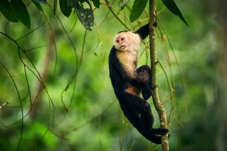 Black monkey sitting on tree branch in the dark tropic forest. White-faced capuchin, little monkey from rainforest. Wildlife scene with wild animal from Costa Rica. Reklamní fotografie