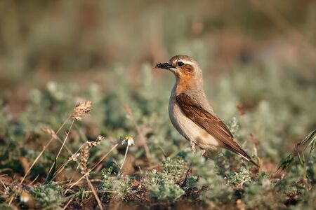 Northern wheatear or wheatear (Oenanthe oenanthe). The female carries food on the nest. Wild animal from Romania. Reklamní fotografie