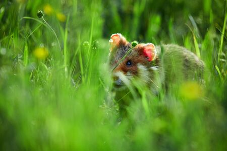 Beautiful image of European hamster (Cricetus cricetus). Hamster sitting in the grass in beautiful light. Animal of wild nature.