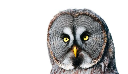 Dramatic photo of a big owl. Great Grey Owl (Strix nebulosa) portrait on the black background.