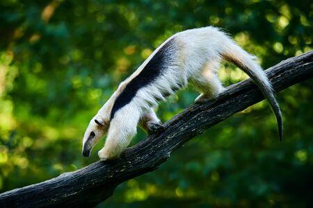Southern tamandua - Tamandua tetradactyla in Brazil rain forest. Animal from central America.  Stock Photo