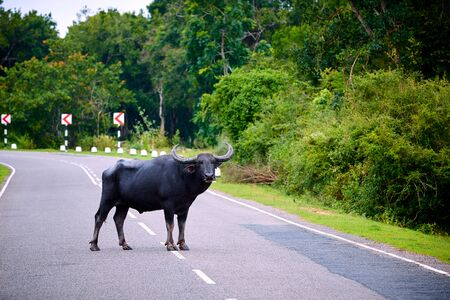 A very dangerous animal standing in the middle of the road. Danger to the driver, collision with an animal. The water buffalo (Bubalus bubalis) crosses the road, Sri Lanka