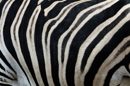 Real leather Chapman's zebra (Equus quagga chapmani). Black and white stripes form a camouflage texture on the body of a zebra.