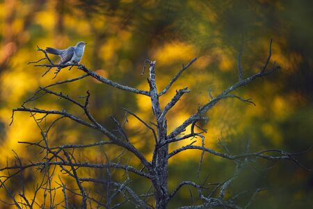 Common cuckoo (Cuculus canorus) A bird that parasitizes the nests of other birds. Cuckoo sitting on a dry tree at sunset. Reklamní fotografie