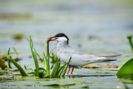 Whiskered tern (Chlidonias hybrida) with fish in its beak. Bird watching in the Danube Delta, Romania. Tern in natural habitat with caught pike.