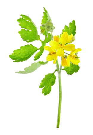 Chelidonium majus, (commonly known as greater celandine, nipplewort, swallowwort, or tetterwort, which also refers to Sanguinaria canadensis)  isolated on white background. A plant used in folk medicine.