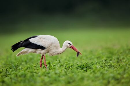 White stork (Ciconia ciconia) with a common vole (Microtus arvalis)  in its beak. Bird while hunting for food. Wild scene from nature. Birds help reduce rodents in the fields. Reklamní fotografie - 150175213