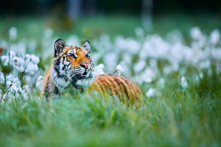 Siberian tiger(Panthera tigris altaica). Amur tiger (Panthera tigris altaica) in the grassland. Dangerous animal from Russia. Wild cat in nature habitat.