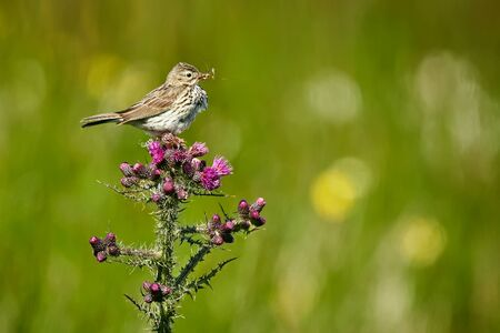 Meadow Pipit - Anthus pratensis sitting on Carduus - Carduus crispus, 