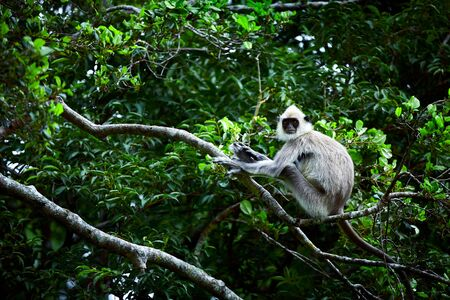 Wild monkey in Udawalawe National Park. Gray langurs, sacred langurs, Indian langurs or Hanuman langurs are a group of Old World monkeys native to the Indian subcontinent, monkey sitting on tree, Sri Lanka Reklamní fotografie