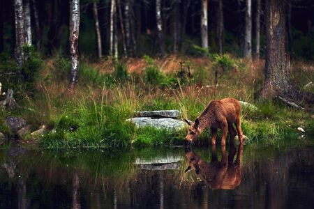 Young moose (Alces alces) drinks water in the lake. Elk symbol of Sweden. Wildlife scene from nature.