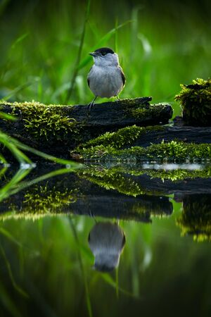 Male of the Eurasian blackcap (Sylvia atricapilla). Scene from bird bath. Wildlife photo from Czech nature. Reklamní fotografie