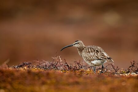 Bird watching on the Varanger Peninsula in Norway.The whimbrel (Numenius phaeopus) bird in the nature habitat. Wildlife animal. Reklamní fotografie