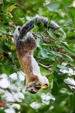 A large squirrel from Sri Lanka hung on a tree and feeding. Grizzled giant squirrel (Ratufa macroura) in Wilpattu national park, Sri Lanka