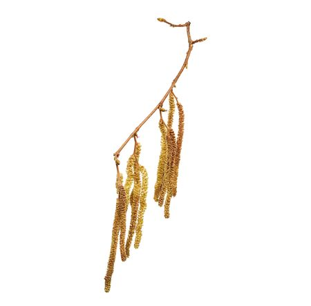 Flower of Corylus avellana, hazelnut in high definition. Spring allergen. Flower on white background.