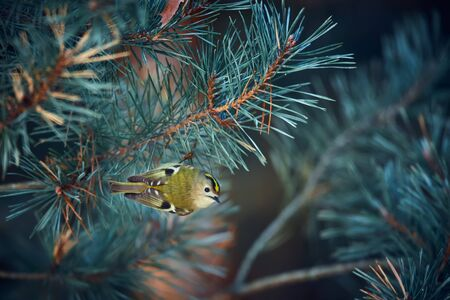 Europe's smallest bird goldcrest (Regulus regulus) on the branch of Scots pine (Pinus sylvestris). A 5 gram-weighing bird that is one of the smallest birds. Wildlife scene from Czech Republic