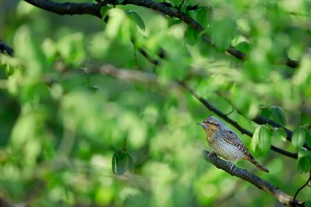 Eurasian wryneck or northern wryneck (Jynx torquilla). Spring photo of a bird sitting on a branch. A bird whose home is old orchards. Reklamní fotografie