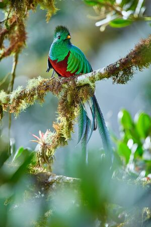 The most beautiful bird of Central America. Resplendent quetzal (Pharomachrus mocinno) Sitting ma branches covered with moss. Beautiful green quetzal with red belly. Reklamní fotografie - 150192559
