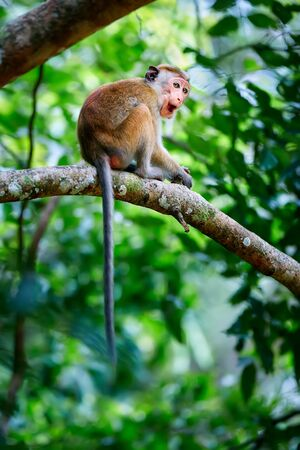 Young monkey sitting on a tree. Toque macaque (Macaca sinica) in Wilpattu. Wildlife scene from Sri Lanka.