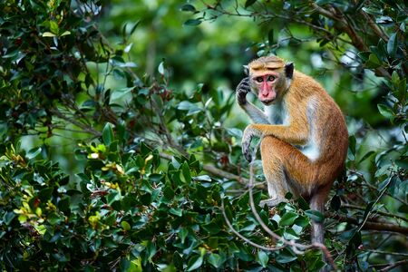 Old monkey sitting on a tree. Toque macaque (Macaca sinica) in Wilpattu. Wildlife scene from Sri Lanka.