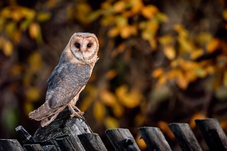 A beautiful barn owl (Tyto alba) perched on the fence. Portrait of owl in autumn time.