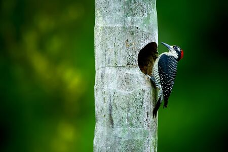 Tropical woodpecker at the nest. Black-cheeked woodpecker, Melanerpes pucherani. Wildlife photography in Costa Rica.