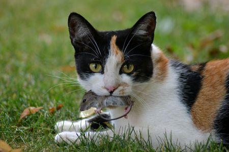cat with mouse 版權商用圖片 - 58178834
