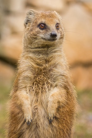 Mongoose standing and staring. Small african animal. photo