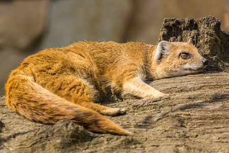 Lazy mongoose lying on a trunk. Small african animal. photo