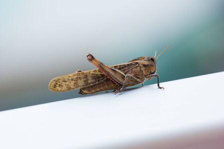 chorthippus: Nice macro shot of grasshopper with defocused background Stock Photo