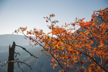 Bright orange leaves in fall against clear blue sky in the mountains. Stok Fotoğraf