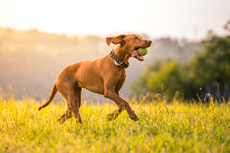 Running Hungarian Short-haired Pointing Dog with tennis ball in mouth. Фото со стока