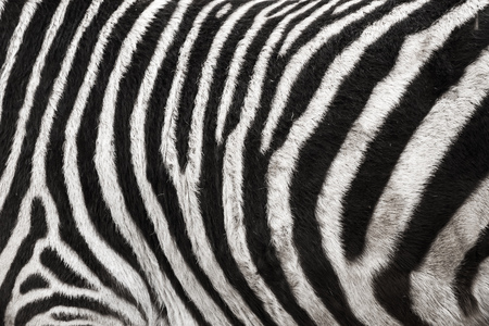 Foto del fondo di struttura della pelliccia della pelle di zebra Archivio Fotografico