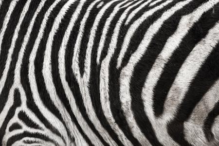 Photo du fond de texture de fourrure de peau de zèbre Banque d'images