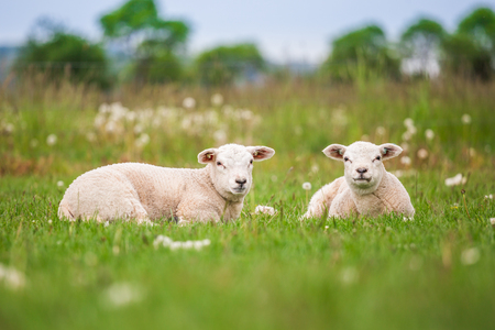 Texel ewe, newborn twin lambs in lush green meadow in Spring Time. Banque d'images