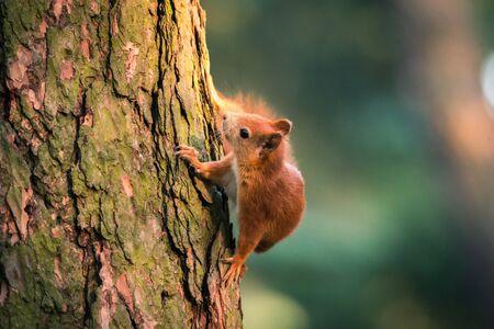 Squirrel in autumn forest scene. Autumn forest squirrel. Squirrel in autumn forest scene. Squirrel in autumn nature Standard-Bild