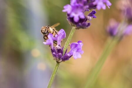 Pollination with bee and lavender during sunshine, sunny lavender Banco de Imagens