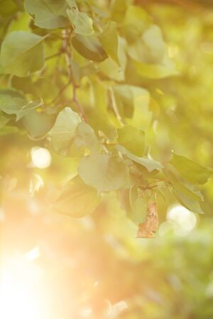 Sun beams and green leaves. Fresh tree foliage , frame. Natural summer background. Stock Photo