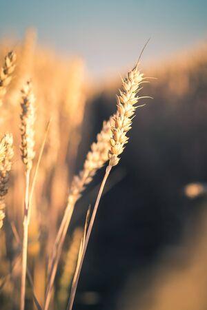 Wheat ears in evening sunset light. Natural light back lit. Beautiful sun flares bokeh