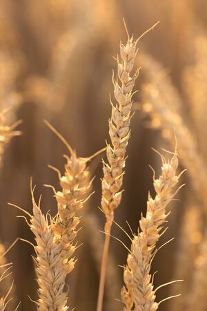 Several tall wheat ears that stretch out to the sky under the backlight, hot summer evening.