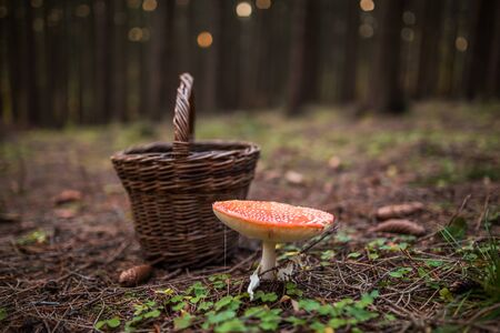 Poisonous mushroom Amanita muscaria next to basket in forrest, concept of mushroom hunter. Warning, inedible.