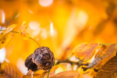 Old brown or black walnuts, on branch of tree with yellow orange leaves close-up with rays of bright sun. Concept of growing. End of season. Rotten nut.