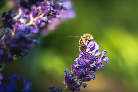 Bee pollination on a lavender flower. Macro photo. Close up. Reklamní fotografie