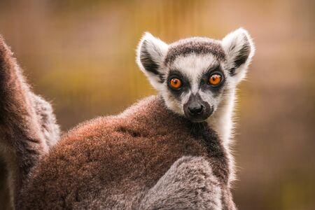 Close up of a ring-tailed lemur Фото со стока