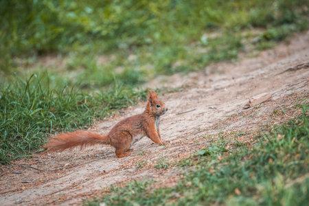 Red squirrel Sciurus vulgaris on the ground in autumn forest Standard-Bild