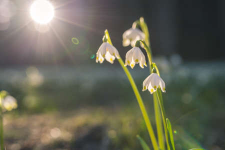 Leucojum vernum or spring snowflake - blooming white flowers in early spring in the forest, closeup macro photo with sunrays. Standard-Bild